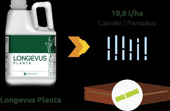 Cana Planta